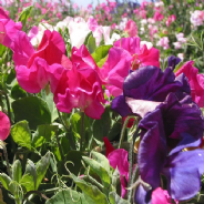 Sweet Pea - Patio - Early Flowering Mix - Dwarf - appx 120 seeds